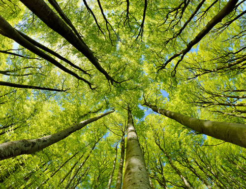 How much carbon can a forest as large as France store?